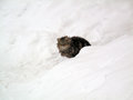 Cat in the snow a out frigid cold trying to keep warm after a heavy snowfall Royalty Free Stock Image
