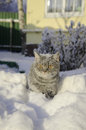 Cat in the snow is on the snowdrift Royalty Free Stock Photo