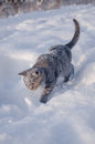 Cat in the snow is on the snowdrift a Royalty Free Stock Photos