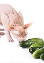 Cat sphinx eating fresh cucumber the Royalty Free Stock Images