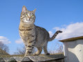 Cat standing against the sky stands on slate roof in front of blue with white clouds Stock Image