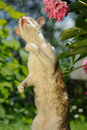 Cat standing on hind legs an adult cornish rex with flowers and green plants in the background Stock Photography