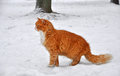 Cat standing on snow and looks into the distance Royalty Free Stock Photography