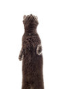 Cat stands on its hind legs on a white background isolated Royalty Free Stock Images