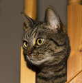 Cat staring through balustrade this is a female tabby pet the balusters of a stairway Stock Photography