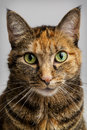 Cat staring intensely into the camera Royalty Free Stock Photo