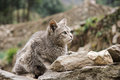 Cat on stone wall brown grey found everest base camp trail nepal Royalty Free Stock Photo