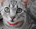 Cat a striped gray with red leash is looking towards camera Royalty Free Stock Photo