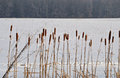 Cat tails an frozen field Royalty Free Stock Photography
