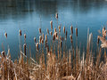 Cat tails on the lake Royalty Free Stock Photo