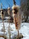 Cat tails Royalty Free Stock Photo