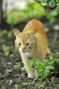 Cat take a walk on the grass Royalty Free Stock Photo