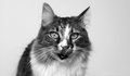 Cat with tongue out in black and white staring left Royalty Free Stock Image