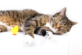 Cat toy playing with a duck against white background Stock Photo