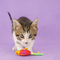 Cat with toy and purple background Royalty Free Stock Photos