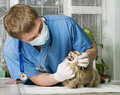 Cat treated by veterinarian Stock Images