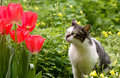 Cat and tulips Royalty Free Stock Image
