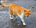 Cat walking fat on the paved road Stock Photography