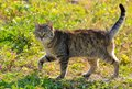 Cat walking on green grass Royalty Free Stock Photo