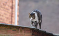 Cat walking on roof Royalty Free Stock Photo
