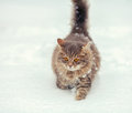 Cat Walking On The Snow