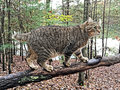 Cat walking on a tree limb beautiful highland lynx in the woods Royalty Free Stock Photos