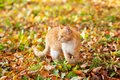 Cat walks in the autumn Park on the fallen leaves Royalty Free Stock Photo