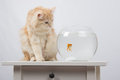 The cat wants to get a foot goldfish domestic sitting on table on which there is an aquarium with Royalty Free Stock Image