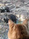 Cat watching bears at national park