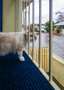 Cat watching flood a blue eyed ragdoll looking at a flooded street in brisbane Royalty Free Stock Photography