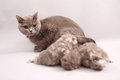 Cat watching her kittens british shorthair babies newly born Royalty Free Stock Image