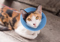 Cat wearing blue protective collar buster Stock Image