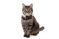 Cat Wearing Bowtie Royalty Free Stock Photo
