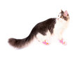 Cat wearing in funny pink shoes goes isolated Royalty Free Stock Photography