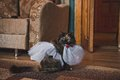 Cat in a wedding dress 2499. Royalty Free Stock Photo