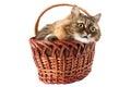 Cat in a wicker basket Royalty Free Stock Photo