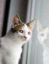 Cat at the window is looking outside and mirrored in Royalty Free Stock Images
