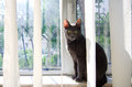 Cat at the window a russian blue looking camera Stock Photo
