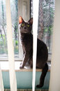 Cat at the window a russian blue smiling camera Stock Image