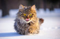 Cat in winter with big yellow eyes Stock Images