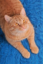 Cat on Woolen Carpet Royalty Free Stock Image