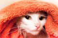 Cat wraped up in a towel Royalty Free Stock Photo