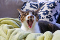 Cat yawning Royalty Free Stock Images