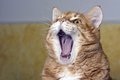 Cat yawning also useful for yelling or laughing concept Royalty Free Stock Photo