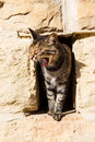 A cat yawning in hole in the wall Royalty Free Stock Image