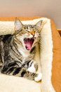Cat yawning a after a nice nap Stock Photos