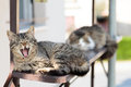 Cat yawning shot of beautiful Royalty Free Stock Photography
