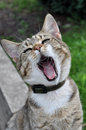 Cat yawns adult tabby open wide your s mouth Royalty Free Stock Photo