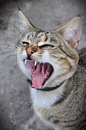Cat yawns adult tabby open wide your s mouth Royalty Free Stock Photography
