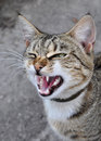 Cat yawns adult tabby open wide your s mouth Stock Images